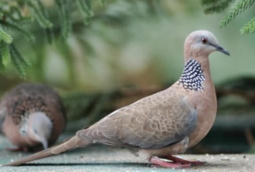 Burung Derkuku