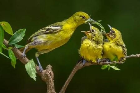 Makanan Burung Sirtu