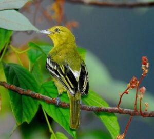 Suara Burung Cipoh Kacat