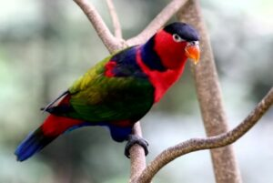 Gambar Burung Nuri Kepala Hitam