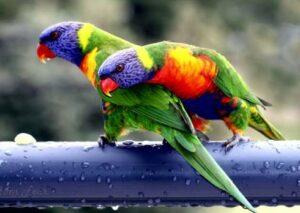 Burung Nuri Pelangi