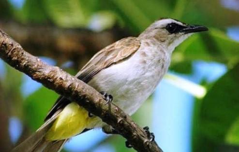 Harga Burung Trucukan