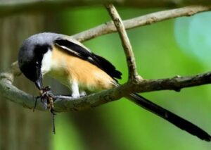Makanan burung cendet