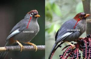 Burung Poksay Mandarin Sumatera dan kalimantan