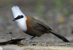 Burung Poksay jambul