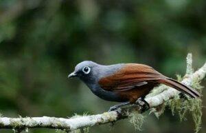 Burung Poksay Mantel