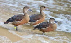 Suara Burung Belibis Pikat Mp3