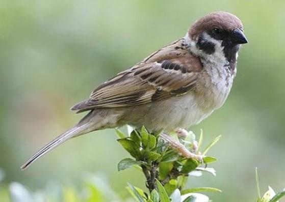 Suara Burung Gereja Tarung