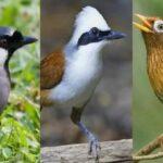 Download Suara Burung Poksay Mp3