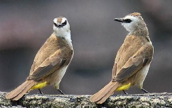 Suara Burung Trucukan Pikat
