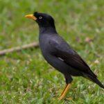 Download Suara Burung Jalak Kebo