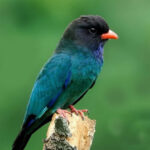 Download Suara Burung Tengkek Buto