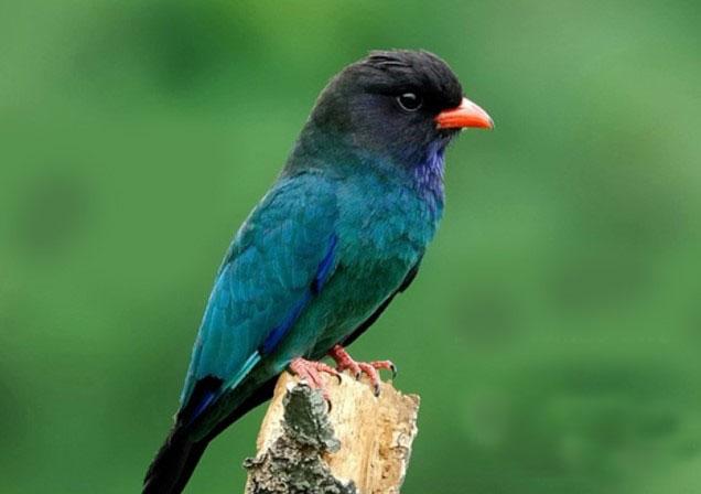 Download Suara Burung Tengkek Buto Ngekek Panjang Mp3