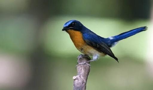 Downlaod Suara Burung Tledeka Pikat