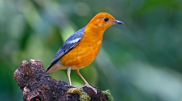 Cara Merawat Burung Anis Merah