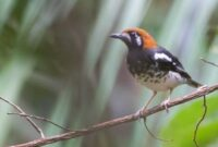 Cara Merawat Burung Anis Kembang