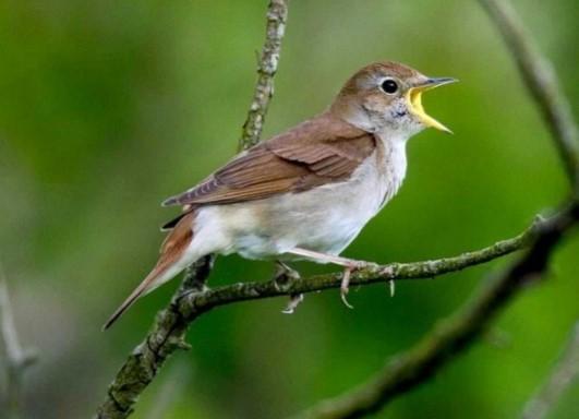 Suara Burung Sikatan Londo