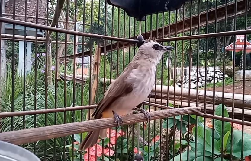 Download Suara Burung Trucukan Mp3