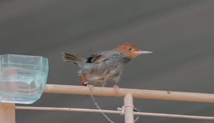 Download Suara Burung Prenjak Mp3 Pikat