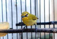 Download Suara Burung Pleci Gacor Mp3