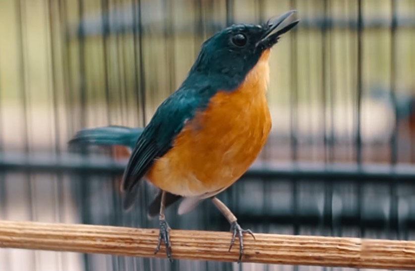 Download Suara Burung Tledekan Mp3