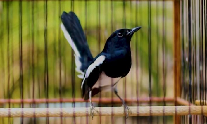 Download Suara Burung Kacer Gacor Mp3